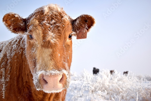 Foto op Plexiglas Koe Cow in Snow