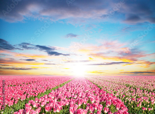 Beautiful tulips field in the Netherlands