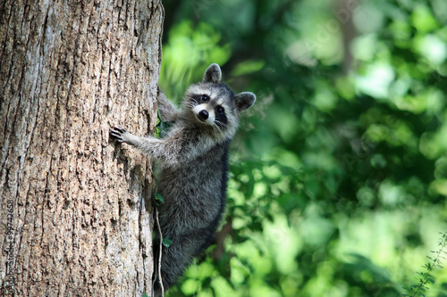 Stampa su Tela  A Raccoon climbing a tree.