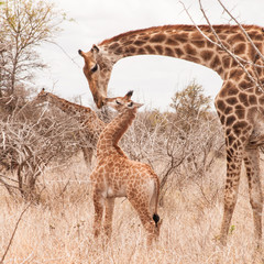 FototapetaCute little giraffe cub kissing his mother in the arid Savannah.