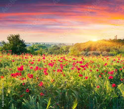 Fototapety, obrazy: Fields of blossom poppy in suburban zone