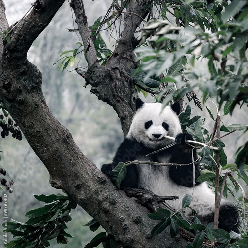 Foto op Plexiglas Panda panda on tree
