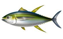 Illustration Of Yellowfin Tuna. / Thunnus Albacares.