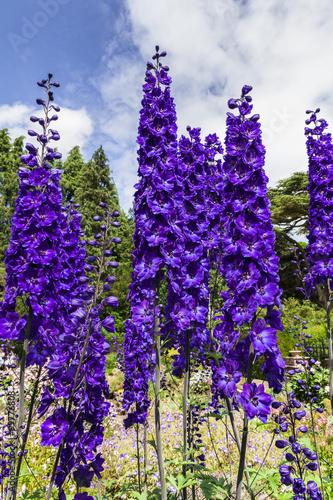Foto Tall dark blue delphinium flowers in a herbaceous border of an English Garden