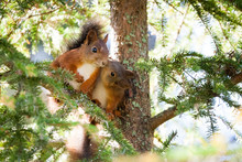 A Very Cute Red Scandinavian Squirrel Baby Is Kissing Another Squirrel. Pure Love.