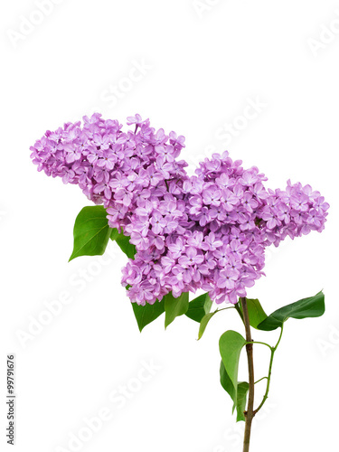 Fotobehang Lilac Lilac flower isolated on white background - Syringa vulgaris