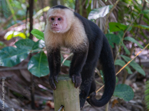 capuchin monkey Canvas Print
