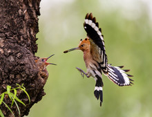 Feeding Hoopoe Bird (upupa Epo...