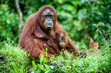 A Female Of The Orangutan With A Cub In A Native Habitat. Bornean Orangutan (Pongo O Pygmaeus Wurmmbii) In The Wild Nature.