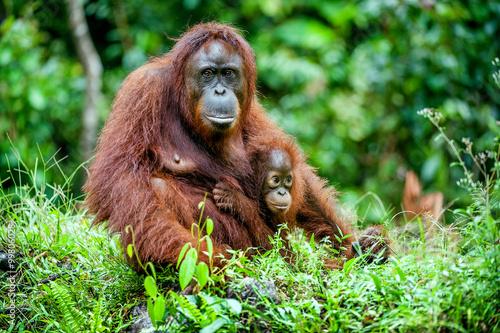 A female of the orangutan with a cub in a native habitat. Bornean orangutan (Pongo o pygmaeus wurmmbii) in the wild nature.