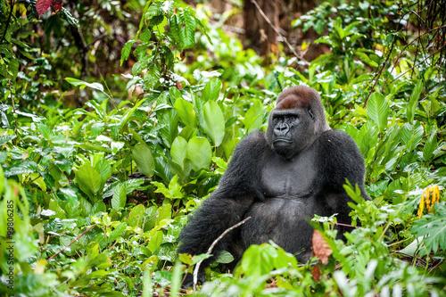 Fotografie, Obraz Portrait of a western lowland gorilla (Gorilla gorilla gorilla) close up at a short distance