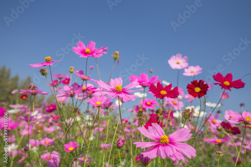 Papiers peints Univers cosmos flower field
