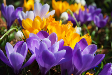 Fototapeta Do biura Blooming yellow purple and white crocuses