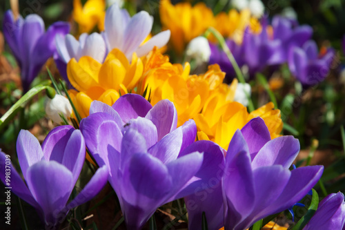 Photo sur Aluminium Crocus Blooming yellow purple and white crocuses