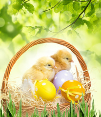 Fototapetaa basket with easter eggs and chickens