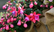 Fuchsia Blüht Rosa