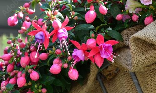 Fotografie, Tablou Fuchsia blüht rosa