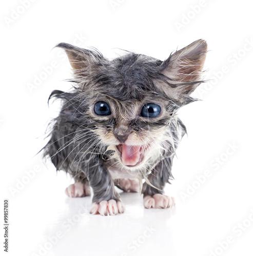 Fotografie, Obraz  Wet gray kitten meows