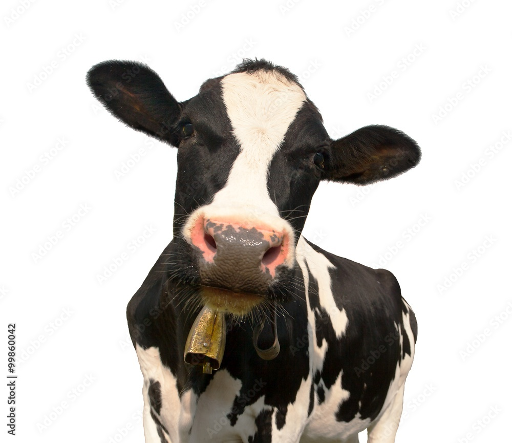 Fototapeta head of black and white cow