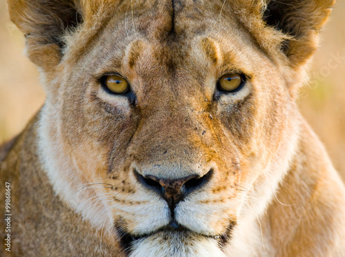 Fotografie, Obraz  Portrait of a lioness