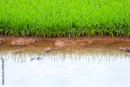 Foto  Rice field young seedlings in rural Asia