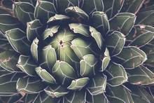 Close Up Of Agave Succulent Pl...