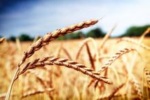 Golden Wheat Field (spelt Whea...