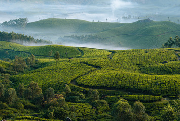 Fototapeta Morning foggy tea plantation in Munnar, Kerala, India.