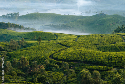 Cuadros en Lienzo Morning foggy tea plantation in Munnar, Kerala, India.