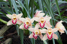 Cymbidium Orchid Also Known As...