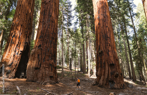 Keuken foto achterwand Verenigde Staten Sequoia vs Man. Giant Sequoias Forest and the Tourist with Backp