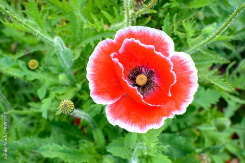 Close up of red opium poppy flower buy this stock photo and close up of red opium poppy flower mightylinksfo
