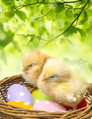 Fototapetaeaster eggs in a basket and two chickens