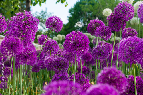 Allium flowers in a flower bed Canvas Print
