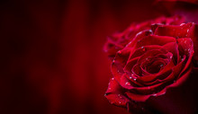 Rose. Red Roses.  Bouquet Of R...