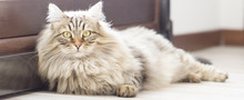 Brown Cat, Long Haired, Siberi...