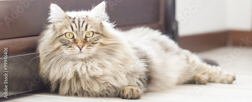 Fotografering  Brown cat, long haired, siberian breed
