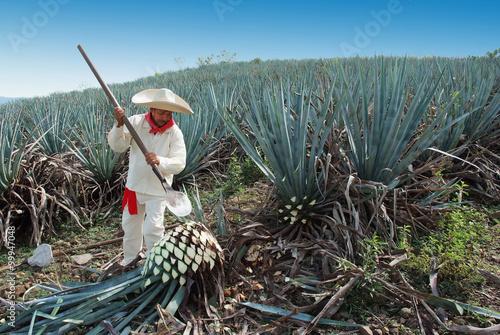 Fotografia Jimador Man working in the tequila industry