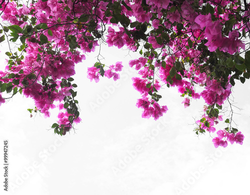 Fotografia Pink Bougainvillea flower