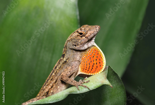 Photo Brown Anole with Throat Fan Expanded