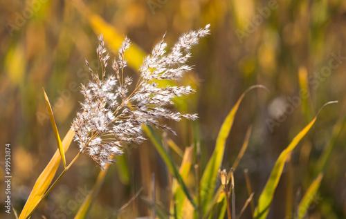 Fotografie, Obraz  bulrush autumn nature as background