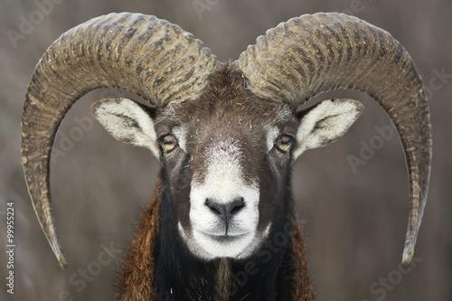 Moufflon portrait