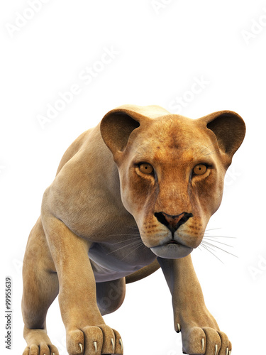 Female lion, lioness, wild animal isolated on white background Poster