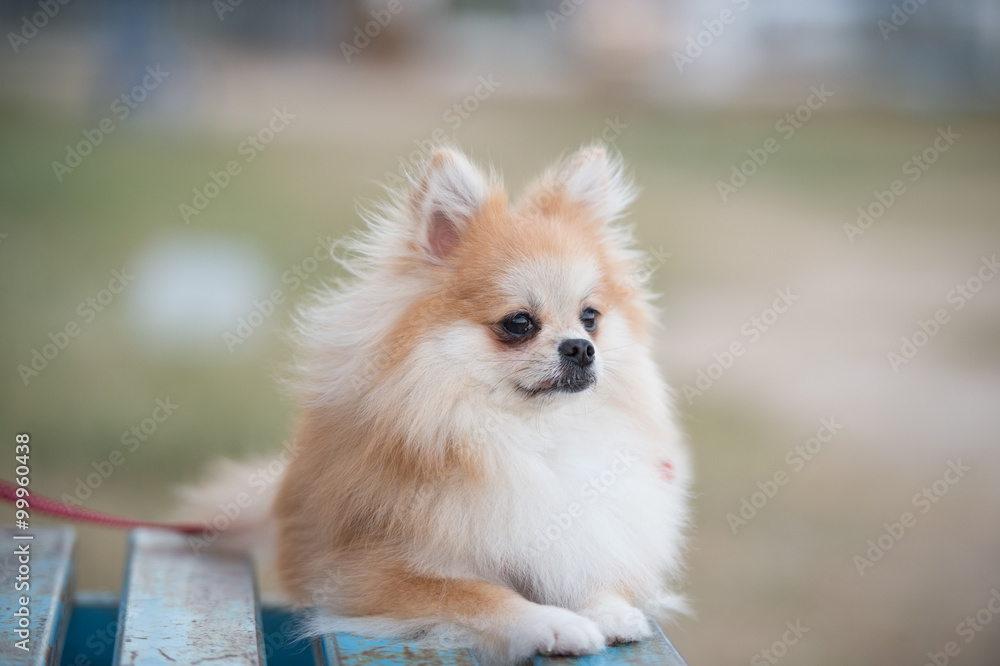 Poster Art Print Pomeranian Dog Sitting On Amphitheater Europosters