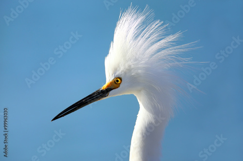 Portrait of Snowy egret Canvas Print