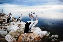 Pelicans, Kangaroo Island, Australia