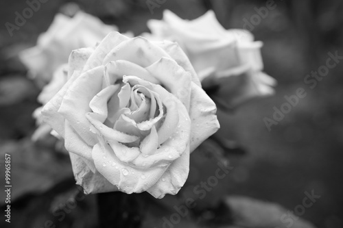 Black and white rose flower Canvas