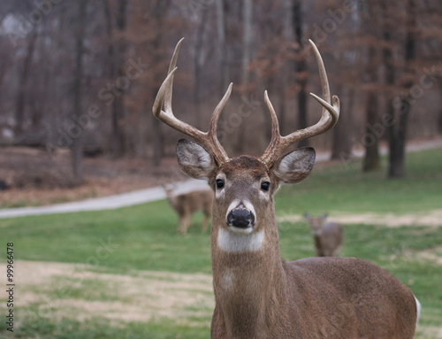 Poster Cerf Large white-tailed deer buck