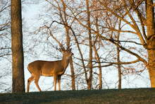 Large White-tailed Buck On A H...