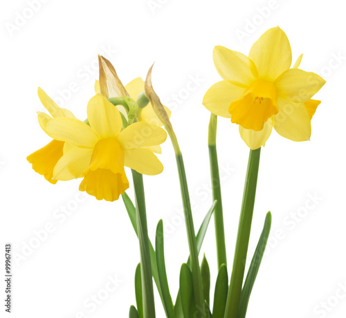 Garden Poster Narcissus Spring floral border, beautiful fresh narcissus flowers, isolated on white background